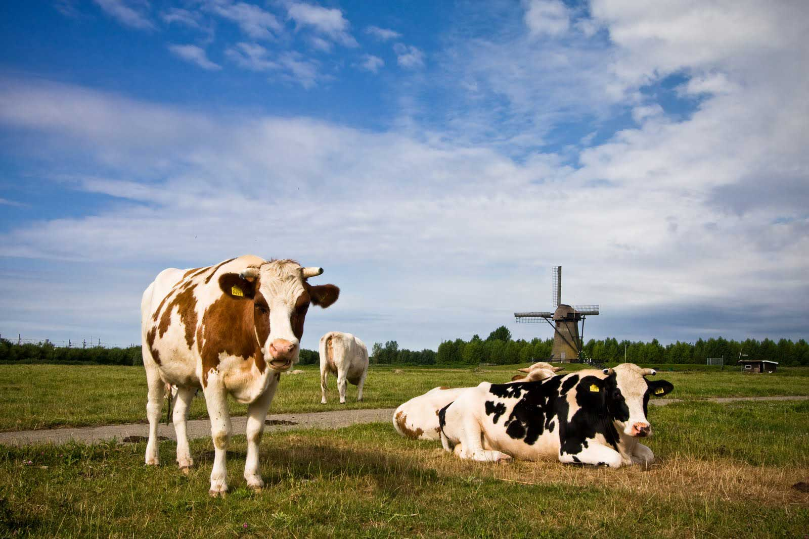 Netherlands-Cows